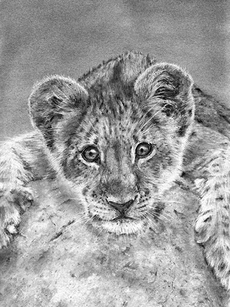 Lion Cub, Pencil Drawing