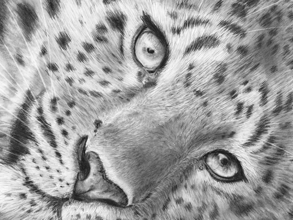Leopard pencil drawing sketch